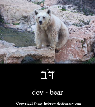 Bear in Hebrew