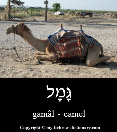 Camel in Hebrew