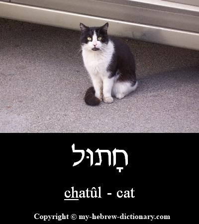 Cat in Hebrew