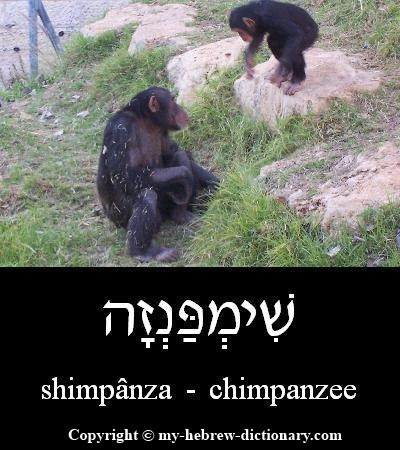 Chimpanzee in Hebrew