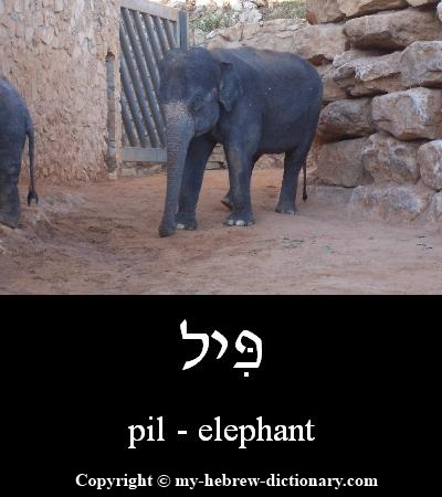 Elephant in Hebrew