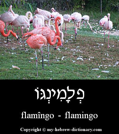 Flamingo in Hebrew
