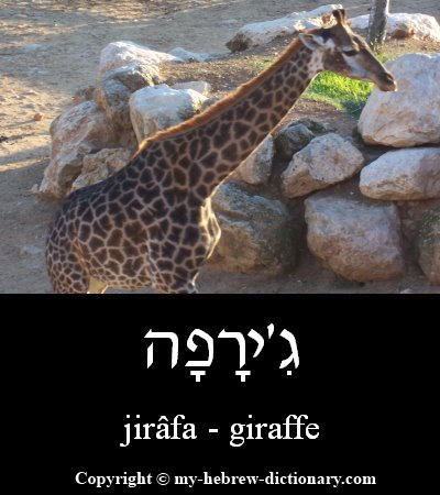 Giraffe in Hebrew