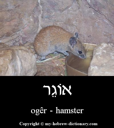 Hamster in Hebrew