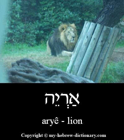 Lion in Hebrew