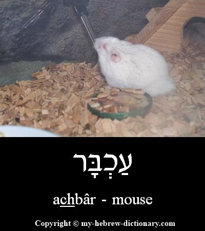 Mouse in Hebrew