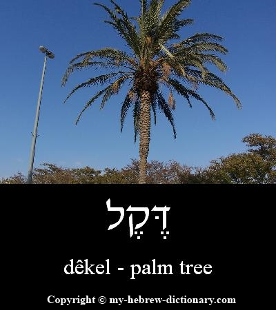 Palm tree in Hebrew