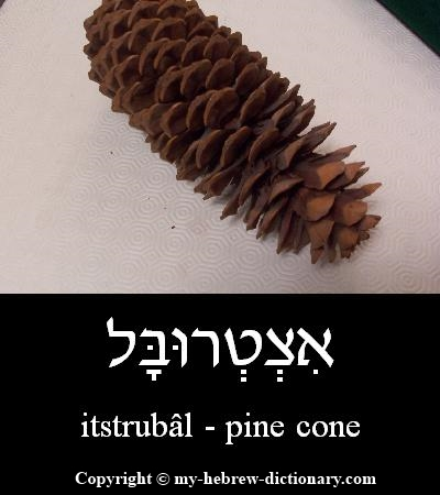 Pine cone in Hebrew