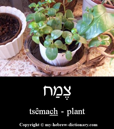 Plant in Hebrew