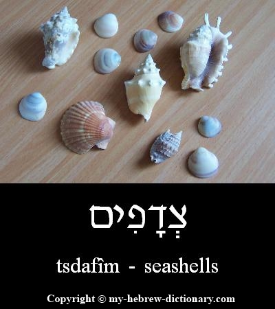 Seashells in Hebrew