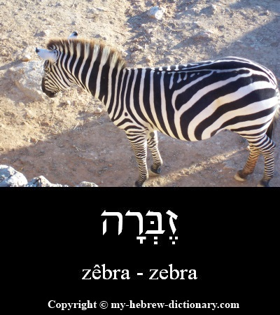 Zebra in Hebrew